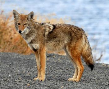 Coyote_Tule_Lake_CA-2