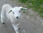 L'agneau sacrificiel